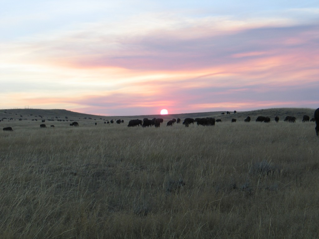 bison-herd-sunset-1