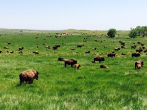 grazing-bison