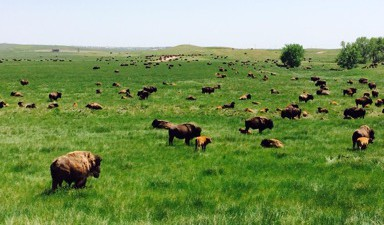 Bison on field